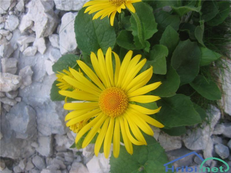 Velecvetni divjakovec (Doronicum grandiflorum) - PictureVelecvetni divjakovec (Doronicum grandiflorum)