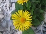 Velecvetni divjakovec (Doronicum grandiflorum)