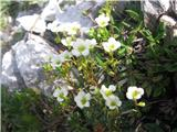 Sinjezeleni kamnokreč (Saxifraga caesia)
