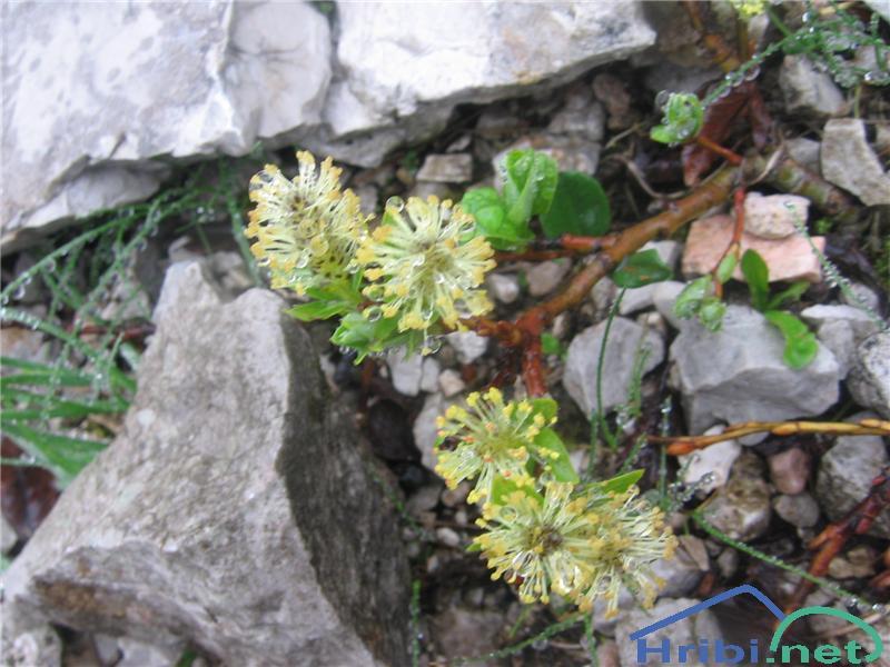 Waldsteinova vrba (Salix waldsteiniana) - SlikaWaldsteinova vrba (Salix waldsteiniana)