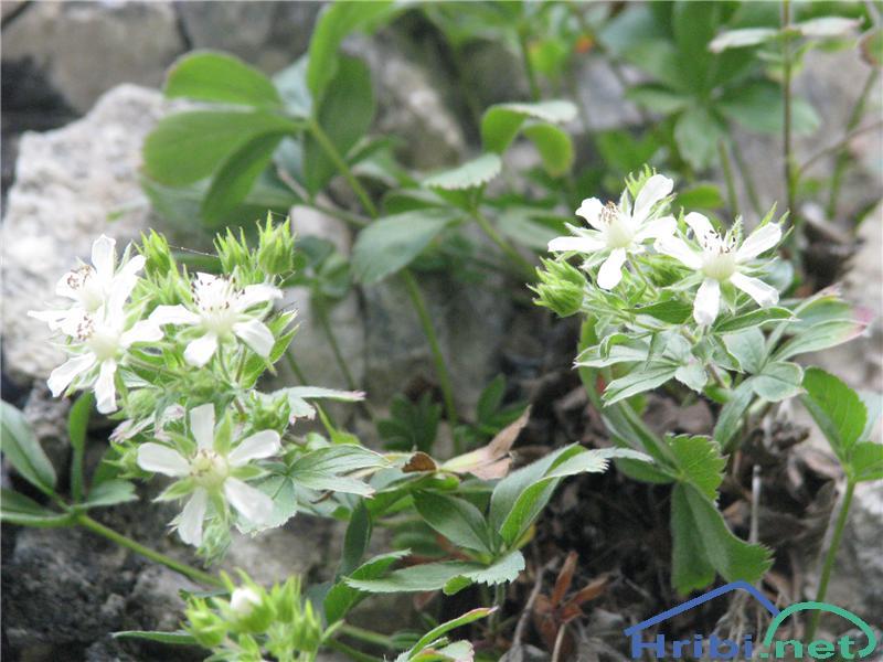 Predalpski petoprstnik (Potentilla caulescens) - SlikaPredalpski petoprstnik (Potentilla caulescens)