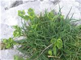 Skalna prerast (Bupleurum petraeum)