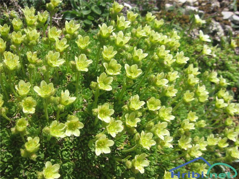 Kranjski kamnokreč (Saxifraga exarata subsp. carniolica) - SlikaKranjski kamnokreč (Saxifraga exarata subsp. carniolica)