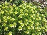 Kranjski kamnokreč (Saxifraga exarata subsp. carniolica)