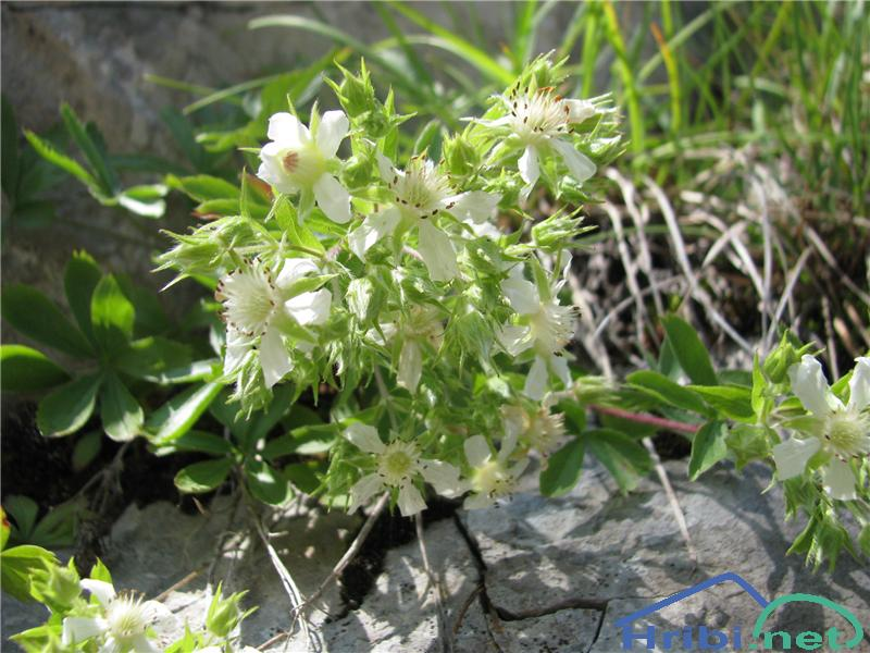 Predalpski petoprstnik (Potentilla caulescens) - PicturePredalpski petoprstnik (Potentilla caulescens)