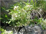 Predalpski petoprstnik (Potentilla caulescens)