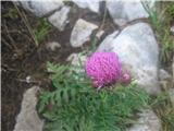 Repičasti bodak (Carduus carduelis)