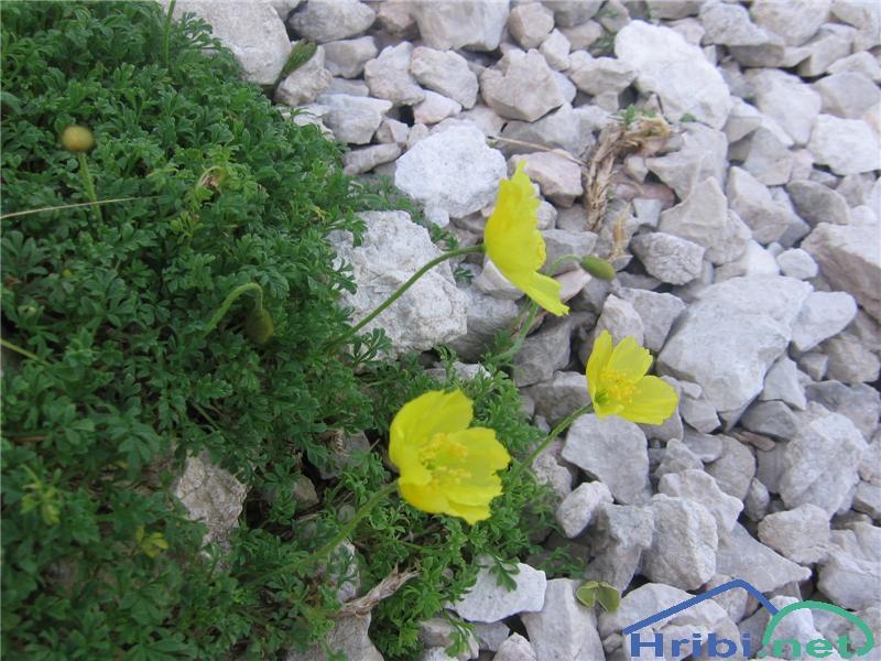 Retijski mak (Papaver alpinum ssp. rhaeticum) - PictureRetijski mak (Papaver alpinum ssp. rhaeticum)