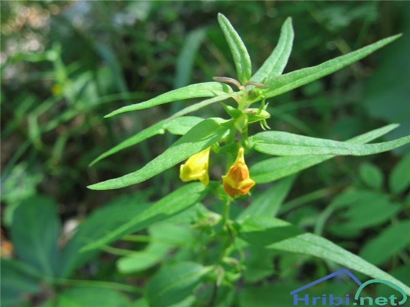 Navadni črnilec (Melampyrum pratense) - PictureNavadni črnilec (Melampyrum pratense)