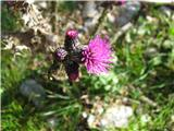 Močvirski osat (Cirsium palustre)