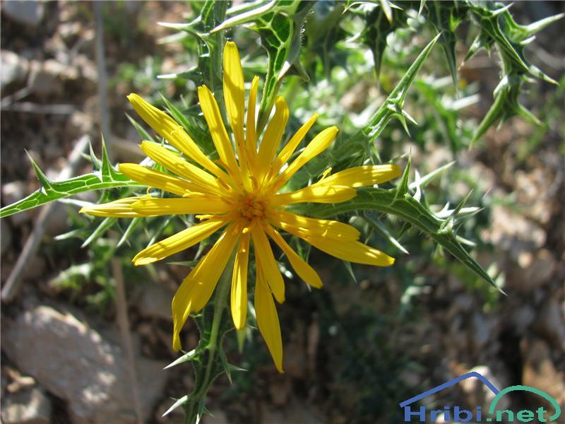 Španski žulj (Scolymus hispanica) - SlikaŠpanski žulj (Scolymus hispanica)