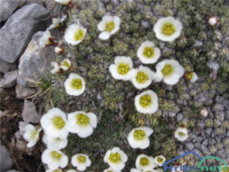 Burserjev kamnokreč (Saxifraga burseriana) - PictureBurserjev kamnokreč (Saxifraga burseriana)
