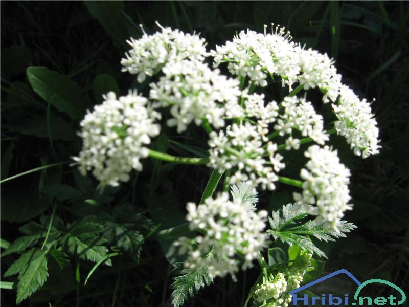Navadni gozdni koren (Angelica sylvestris) - SlikaNavadni gozdni koren (Angelica sylvestris)