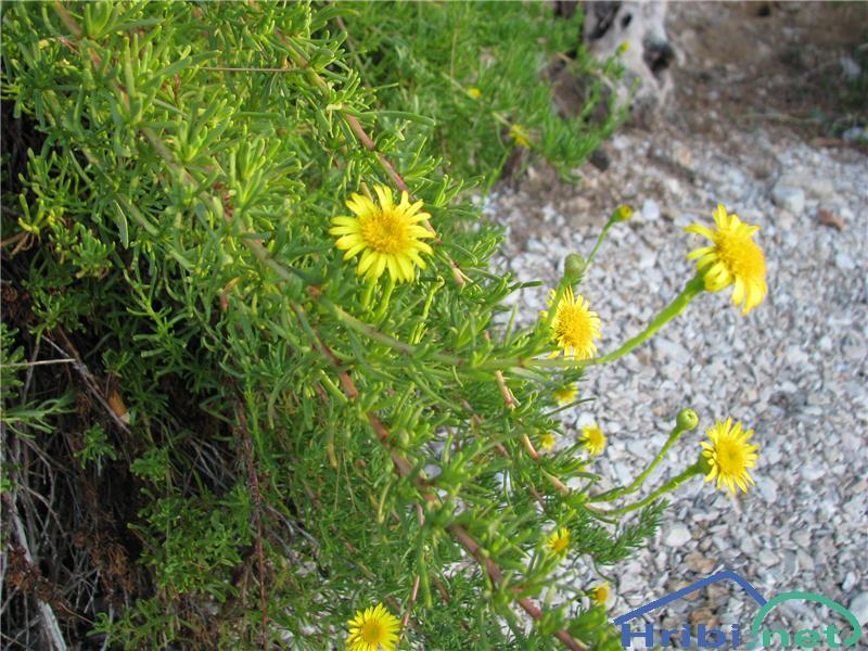 Obmorski oman (Inula crithmoides ali Limbarda crithmoides) - SlikaObmorski oman (Inula crithmoides)