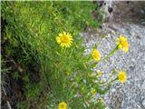 Inula crithmoides or Limbarda crithmoides