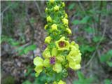 Volnati lučnik (Verbascum alpinum)