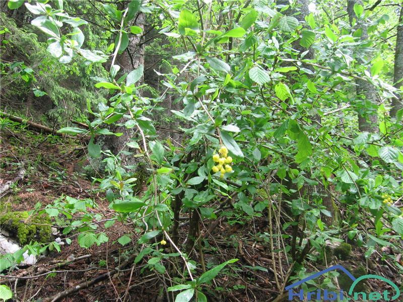 Navadni češmin (Berberis vulgaris) - SlikaNavadni češmin (Berberis vulgaris)