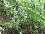 Navadni češmin (Berberis vulgaris)