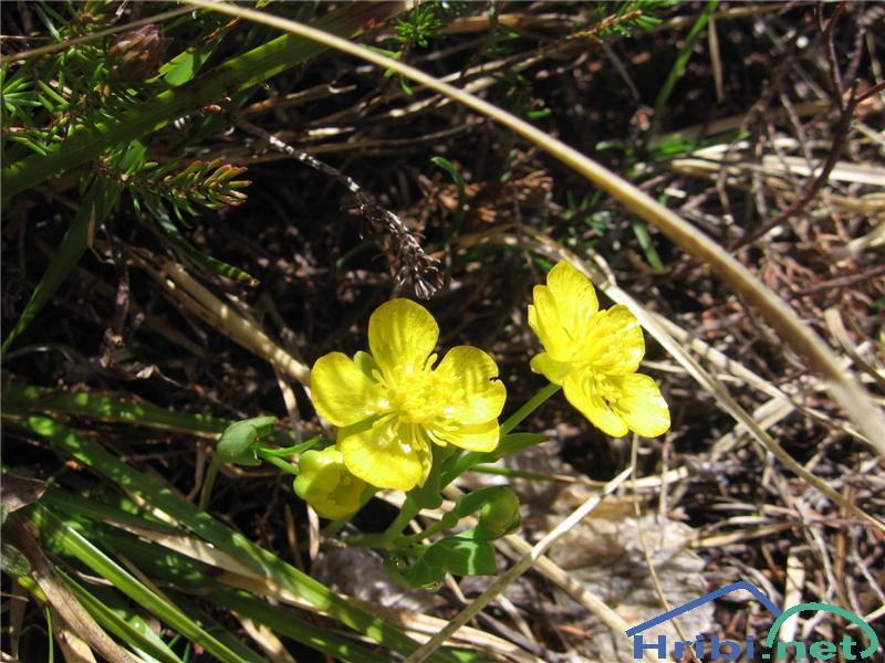 Zlatorumena zlatica (Ranunculus auricomus agg.) - PictureZlatorumena zlatica (Ranunculus auricomus agg.)
