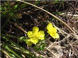 Zlatorumena zlatica (Ranunculus auricomus agg.)