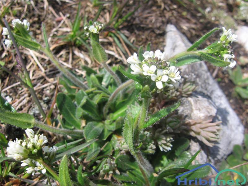 Dlakavi repnjak (Arabis hirsuta) - PictureDlakavi repnjak (Arabis hirsuta)