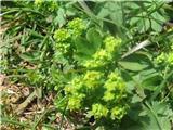 Navadna ali ostrokrpa plahtica (Alchemilla vulgaris)