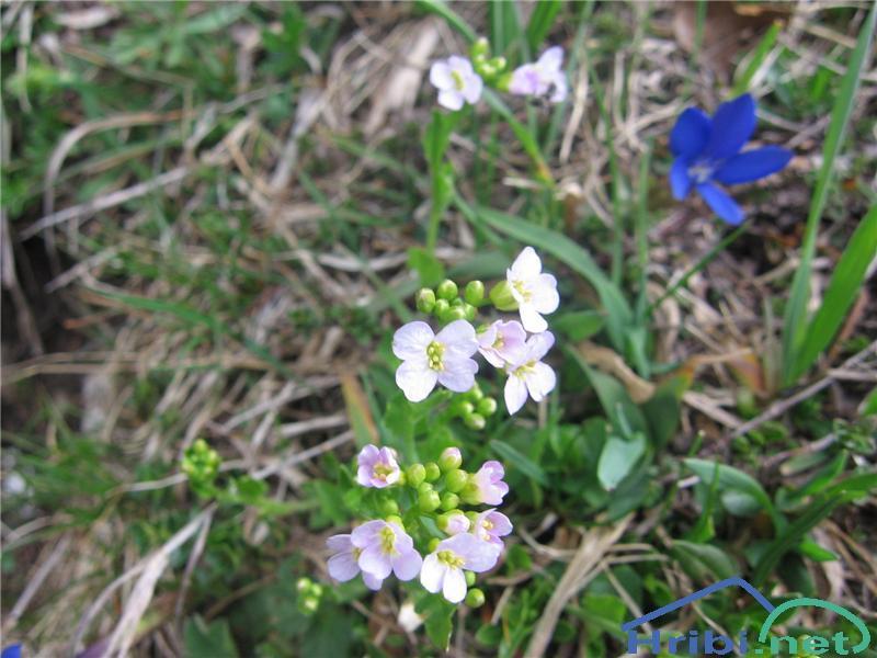 Hallerjev penušnjek (Cardaminopsis halleri) - SlikaHallerjev penušnjek (Cardaminopsis halleri)