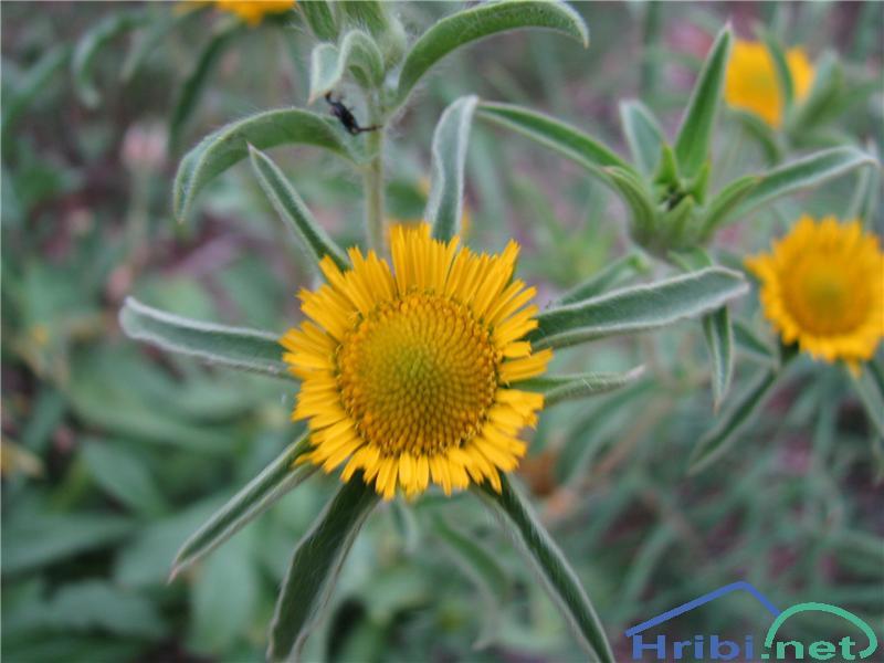 Bodeči trnojek (Pallenis spinosa) - SlikaBodeči trnojek (Pallenis spinosa)