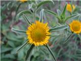 Bodeči trnojek (Pallenis spinosa)