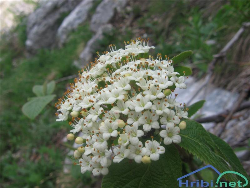 Navadni mokovec (Sorbus aria) - PictureNavadni mokovec (Sorbus aria)