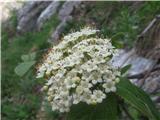 Navadni mokovec (Sorbus aria)