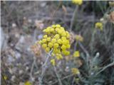 Laški smilj (Helichrysum italicum)