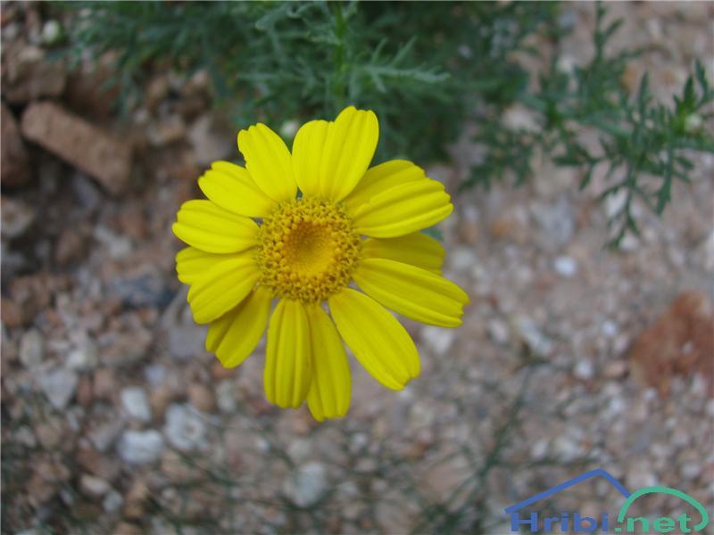 Rumena kamilica (Anthemis tinctoria) - PictureRumena kamilica (Anthemis tinctoria)