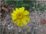 Rumena kamilica (Anthemis tinctoria)