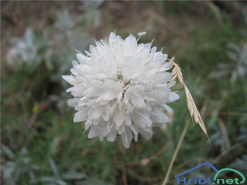 Bleda obloglavka (Cephalaria leucantha) - SlikaBleda obloglavka (Cephalaria leucantha)
