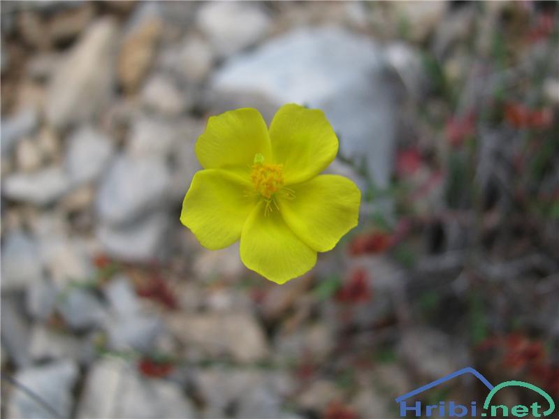 Poljanka (Fumana sp.) - PicturePoljanka (Fumana sp.)