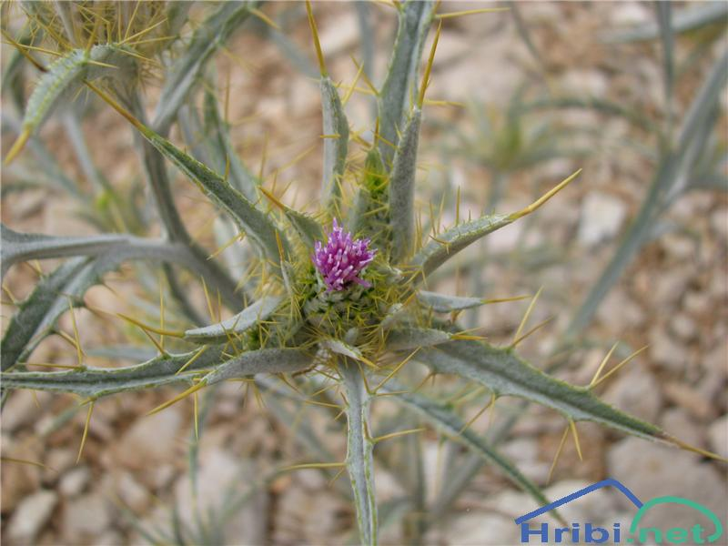 Ptilostemon hispanicus - SlikaPtilostemon hispanicus
