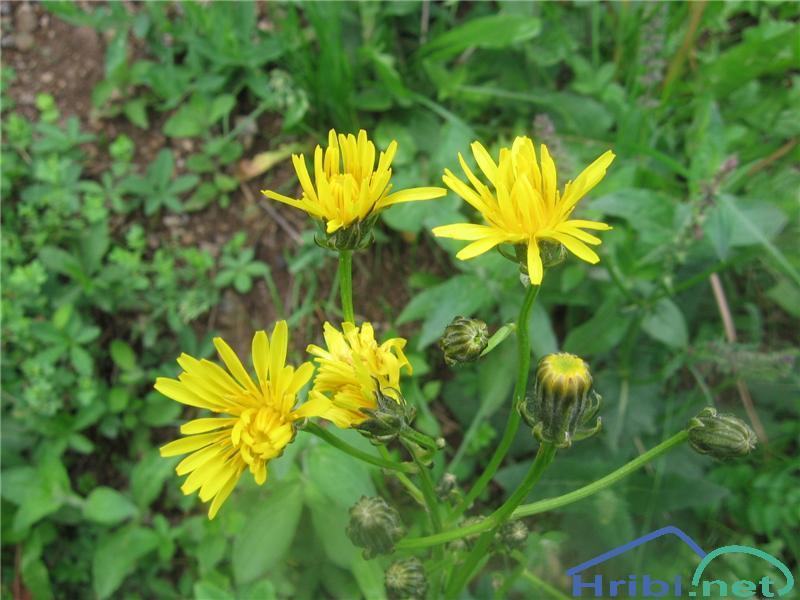Dvoletni dimek (Crepis biennis) - PictureDvoletni dimek (Crepis biennis)