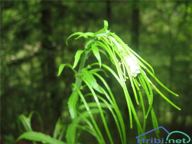 Slokastoplodni repnjak (Arabis turrita) - PictureSlokastoplodni repnjak (Arabis turrita)