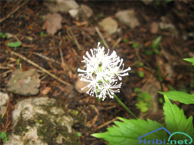Navadna črnoga (Actaea spicata) - SlikaNavadna črnoga (Actaea spicata)