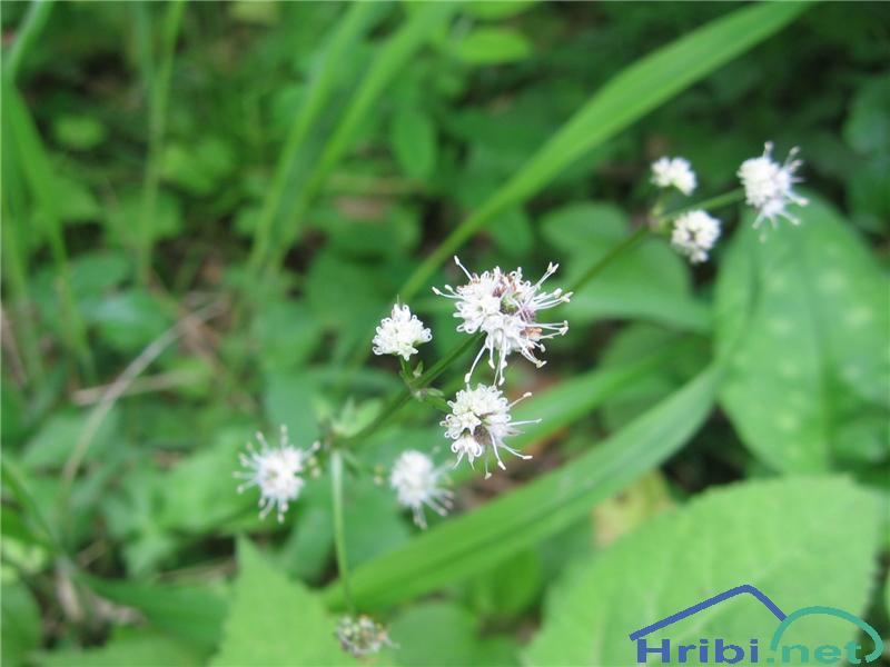 Navadni ženikelj (Sanicula europaea) - SlikaNavadni ženikelj (Sanicula europaea)