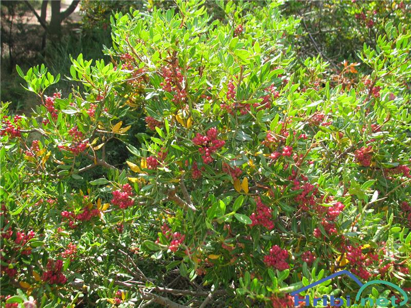 Sodopernata rujevina (Pistacia lentiscus) - SlikaSodopernata rujevina (Pistacia lentiscus)