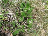 Skalna špajka (Valeriana saxatilis)