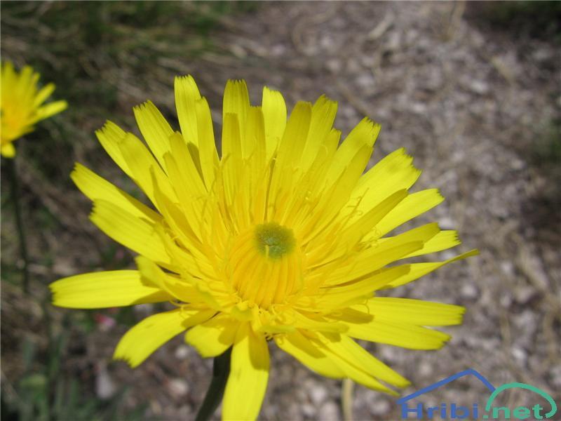 Sinja škržolica (Hieracium claucum) - SlikaSinja škržolica (Hieracium claucum)