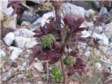 Divji bezeg (Sambucus racemosa)