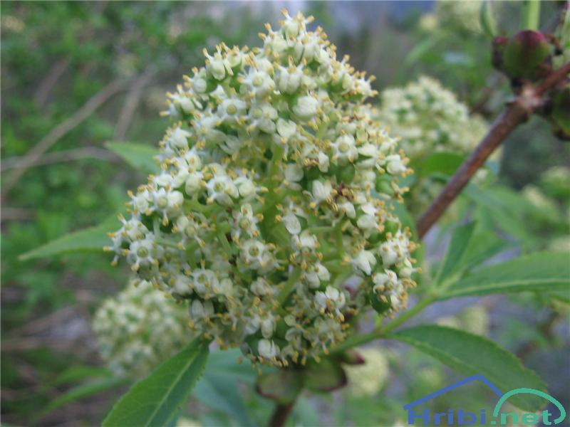 Divji bezeg (Sambucus racemosa) - PictureDivji bezeg (Sambucus racemosa)
