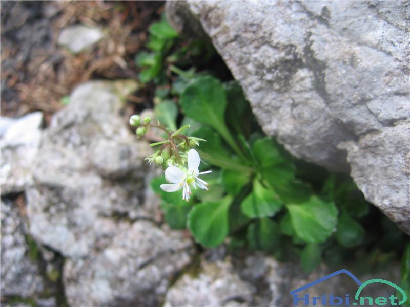 Klinolistni kamnokreč (Saxifraga cuneifolia) - SlikaKlinolistni kamnokreč (Saxifraga cuneifolia)