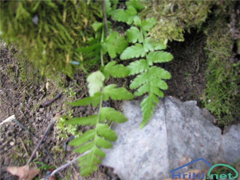 Hrastovka (Gymnocarpium dryopteris) - PictureHrastovka (Gymnocarpium dryopteris)