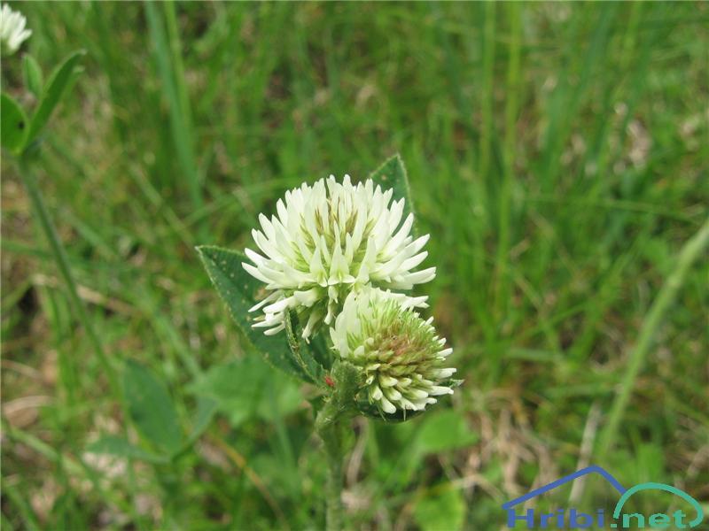 Gorska detelja (Trifolium montanum) - PictureGorska detelja (Trifolium montanum)