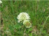 Gorska detelja (Trifolium montanum)